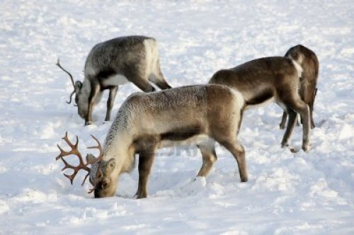 1005871-reindeer-in-natural-enviroment-in-scandinavia