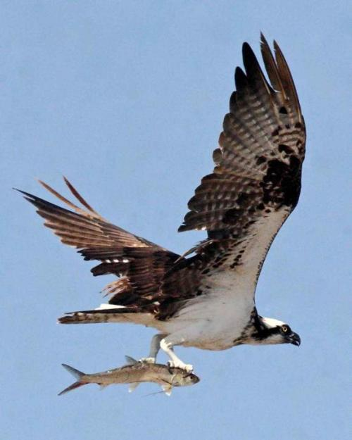osprey-bird-in-flight-close-up-pandion-haliaetus_w580_h725